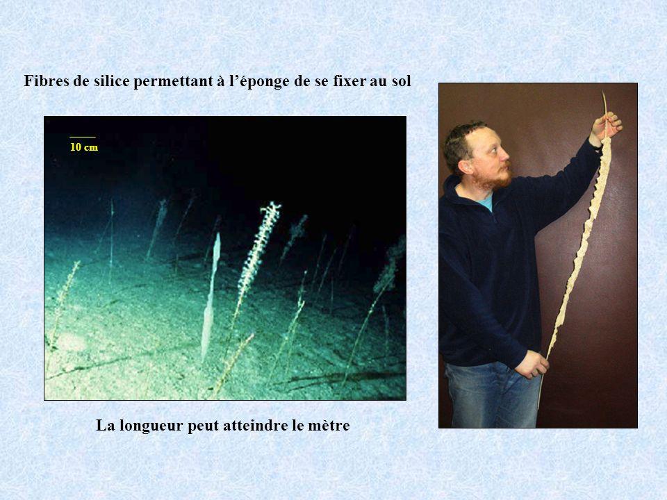 Fibres de silice permettant à léponge de se fixer au sol La longueur peut atteindre le mètre 10 cm
