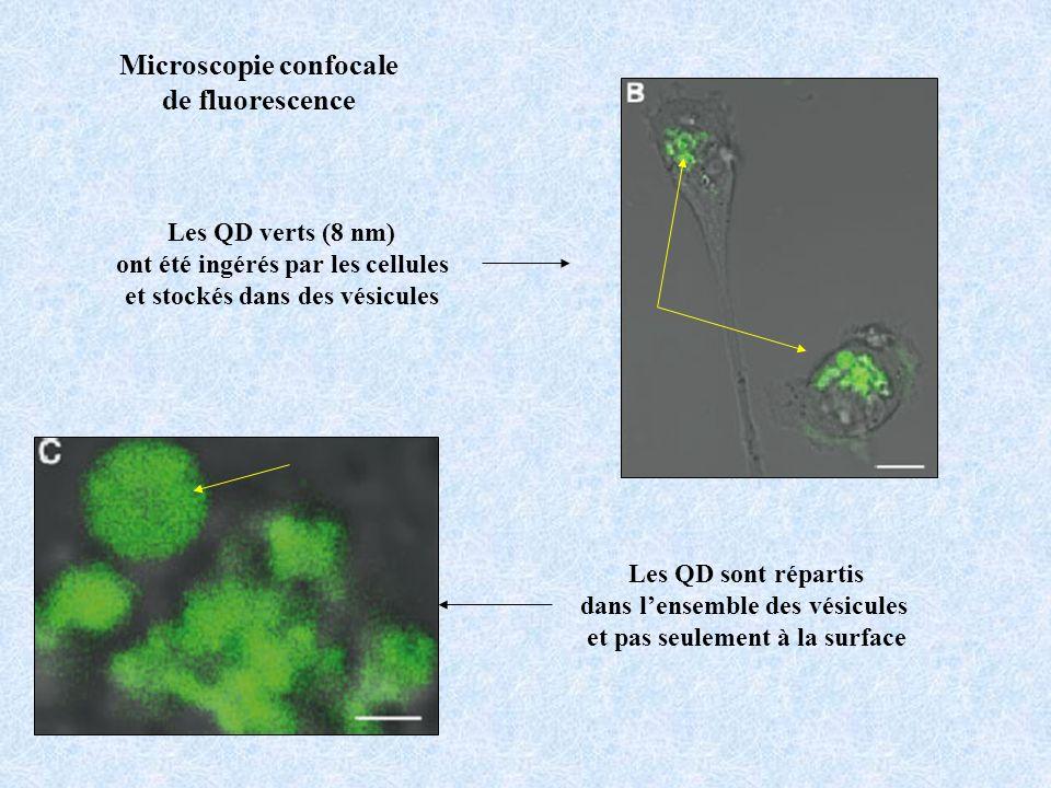 Les QD verts (8 nm) ont été ingérés par les cellules et stockés dans des vésicules Les QD sont répartis dans lensemble des vésicules et pas seulement
