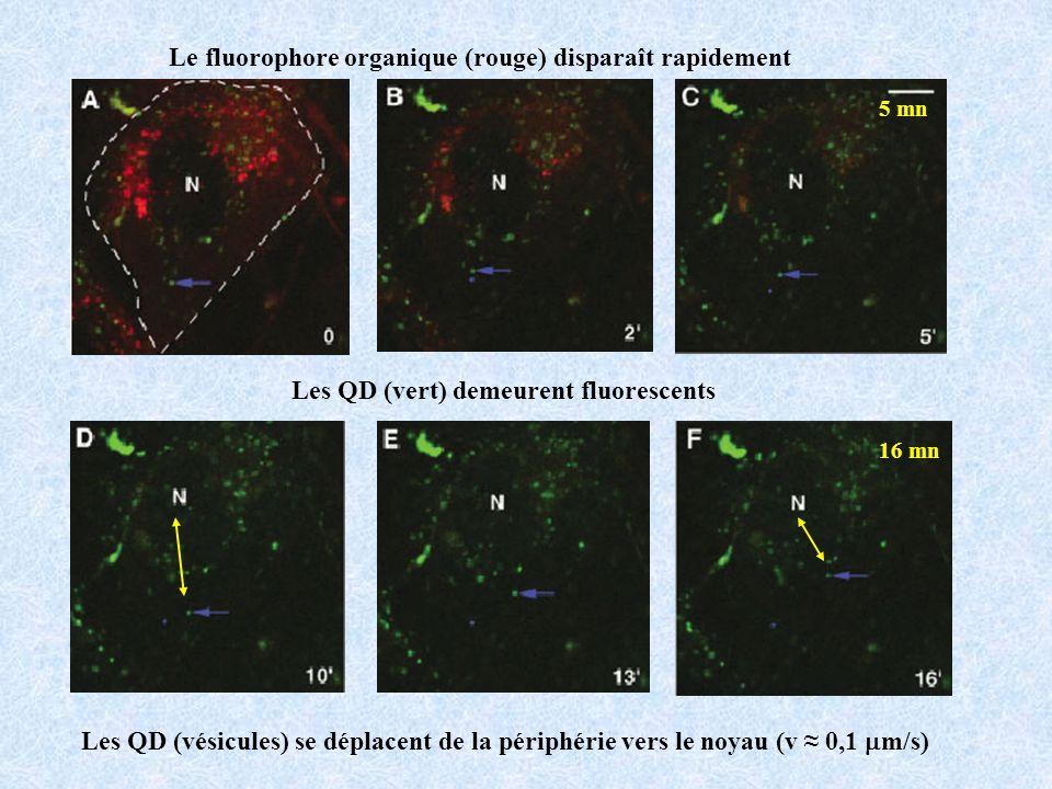Le fluorophore organique (rouge) disparaît rapidement 5 mn Les QD (vert) demeurent fluorescents 16 mn Les QD (vésicules) se déplacent de la périphérie