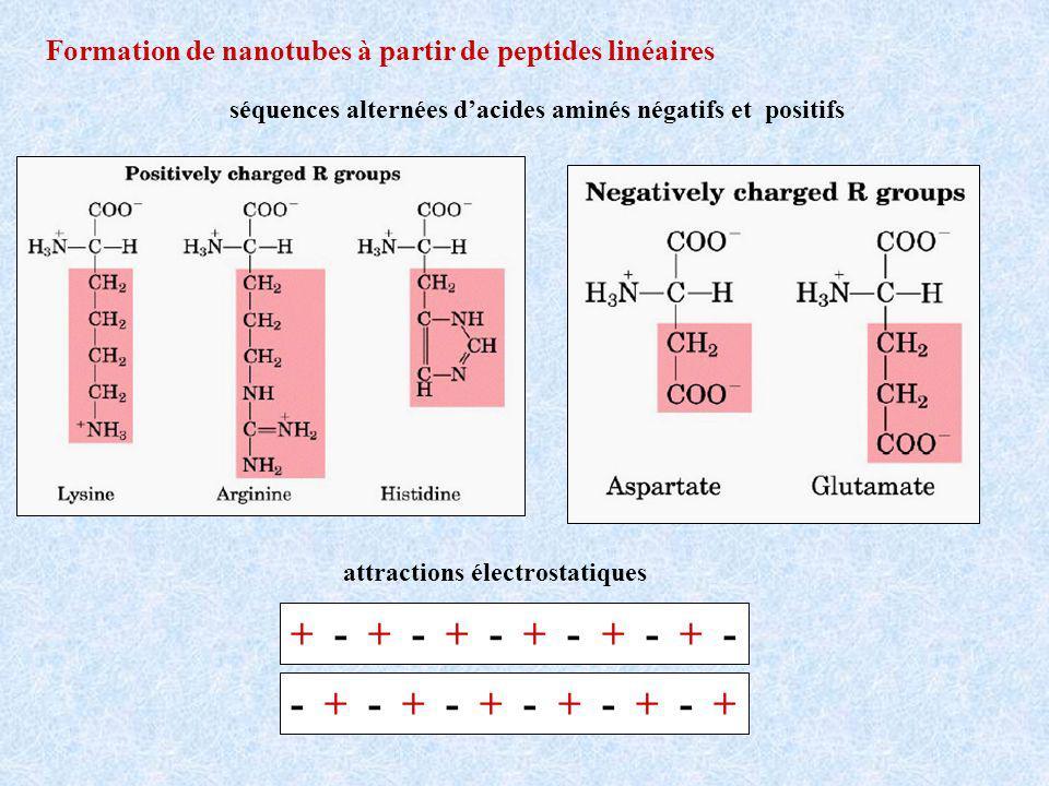 Formation de nanotubes à partir de peptides linéaires séquences alternées dacides aminés négatifs et positifs attractions électrostatiques + - + - + - - + - + - +