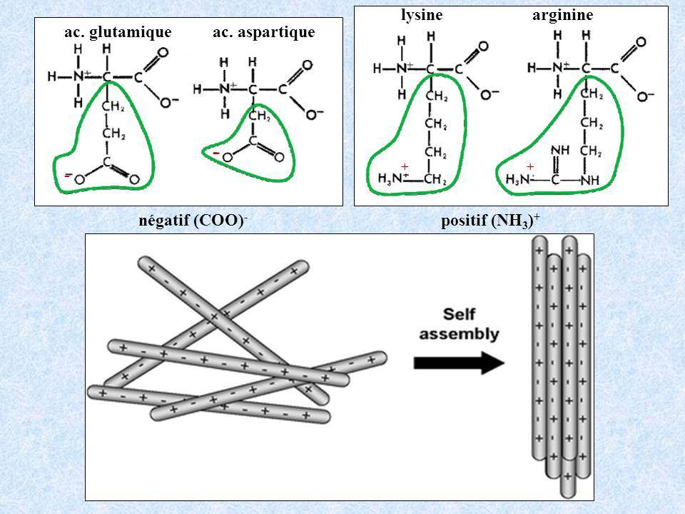 lysinearginine positif (NH 3 ) + ++ ac. glutamiqueac. aspartique négatif (COO) - - -
