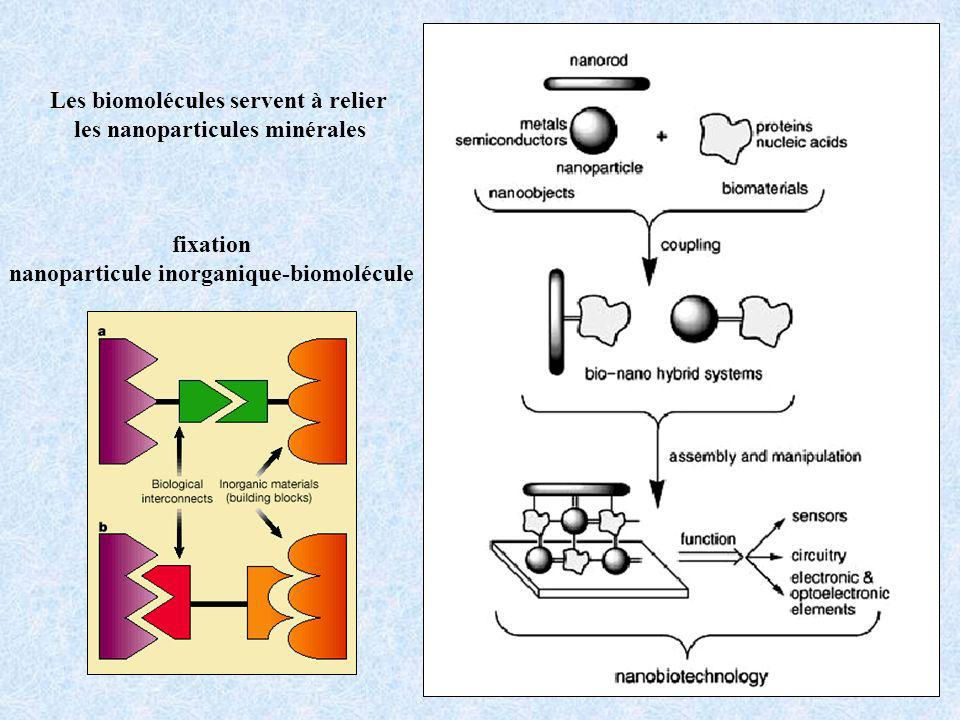 fixation nanoparticule inorganique-biomolécule Les biomolécules servent à relier les nanoparticules minérales