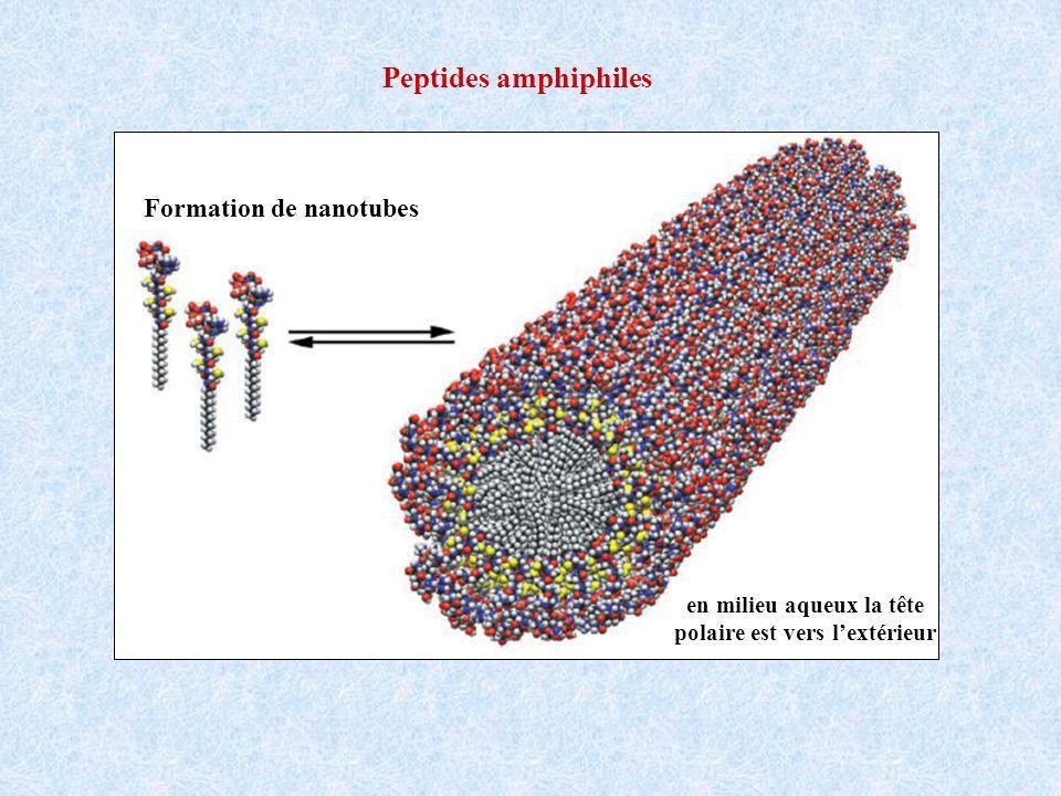 Formation de nanotubes en milieu aqueux la tête polaire est vers lextérieur Peptides amphiphiles