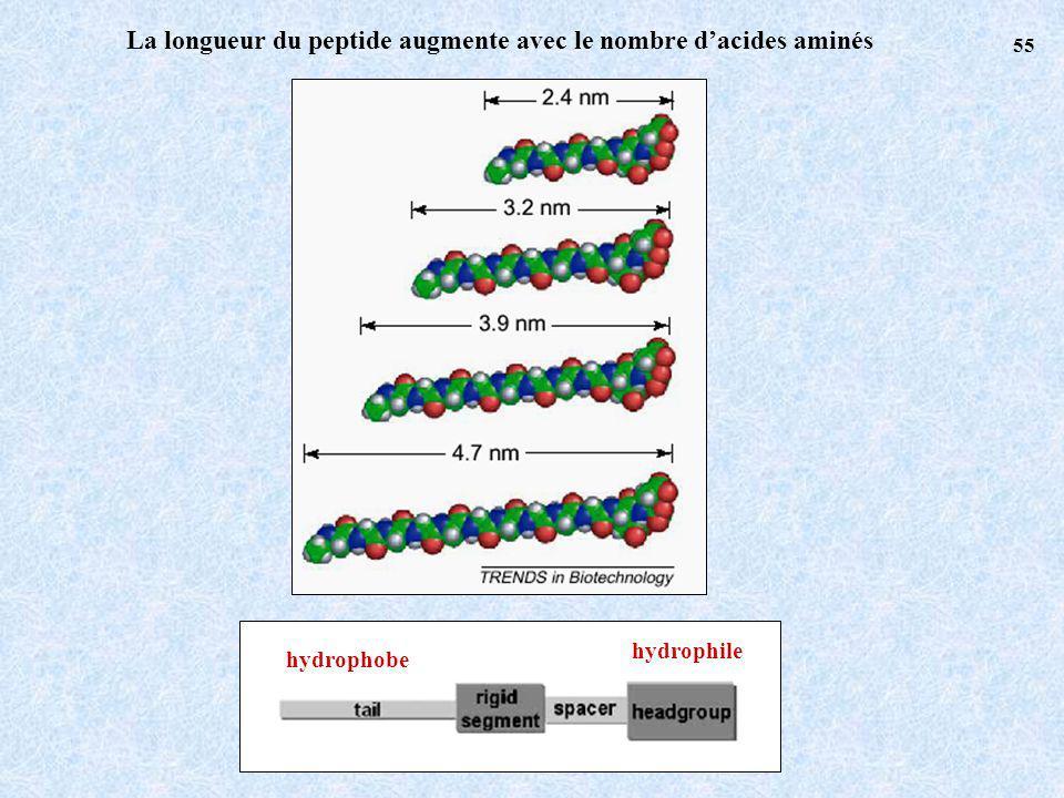 La longueur du peptide augmente avec le nombre dacides aminés hydrophile hydrophobe 55