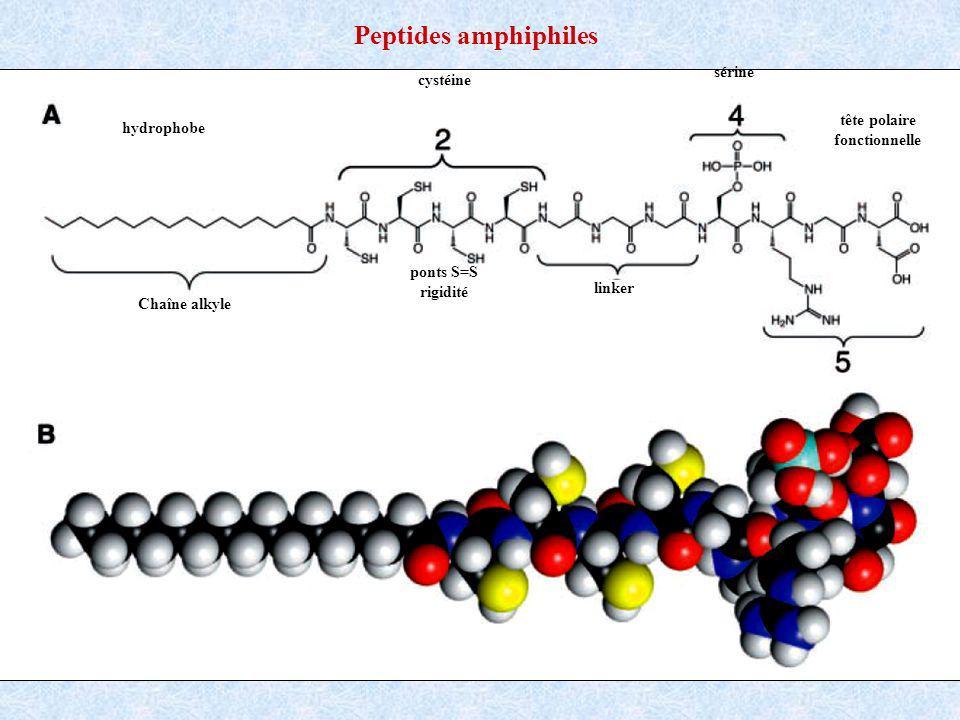 Chaîne alkyle cystéine linker sérine hydrophobe ponts S=S rigidité tête polaire fonctionnelle Peptides amphiphiles