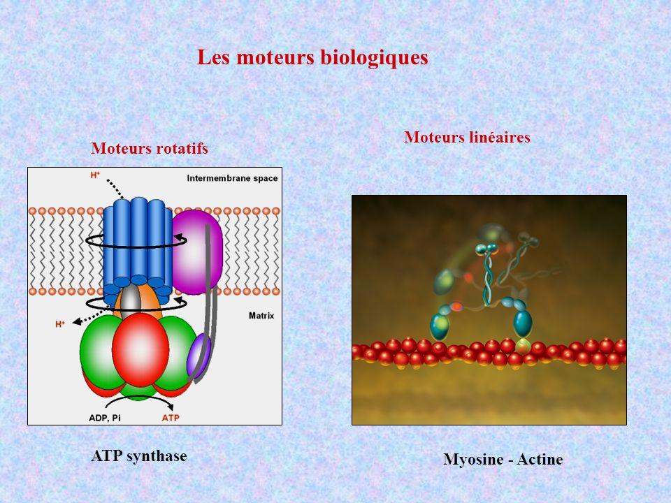 Les moteurs biologiques Moteurs rotatifs Moteurs linéaires ATP synthase Myosine - Actine