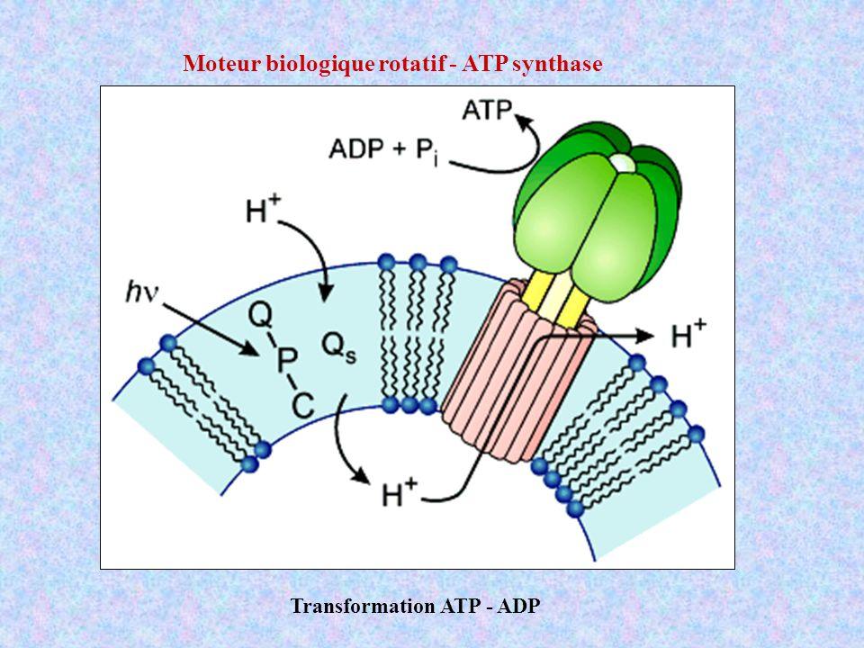 Pi = phosphate inorganique ATP ADP Le cycle de l énergie Hydrolyse de lATP en ADP ATP + H 2 O ADP + Pi libération de protons HATP 3- ATP 4- + H + HADP 2- ADP 3- + H + H 2 PO 4 - HPO 4 2- + H +