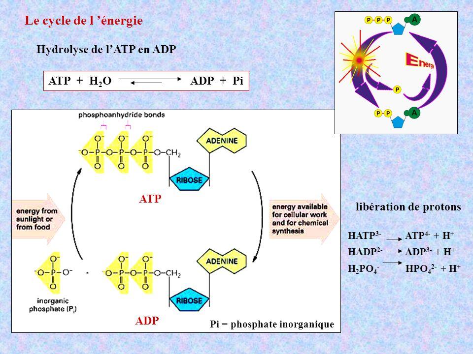 Le transfert de protons à travers la membrane entraîne la rotation de lensemble (,, c12) Processus réversible : rotation inverse hydrolyse de lADP en ATP + Pi