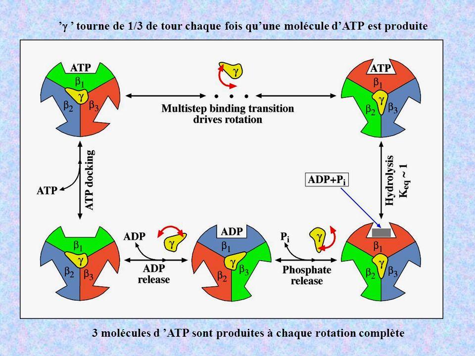 tourne de 1/3 de tour chaque fois quune molécule dATP est produite 3 molécules d ATP sont produites à chaque rotation complète