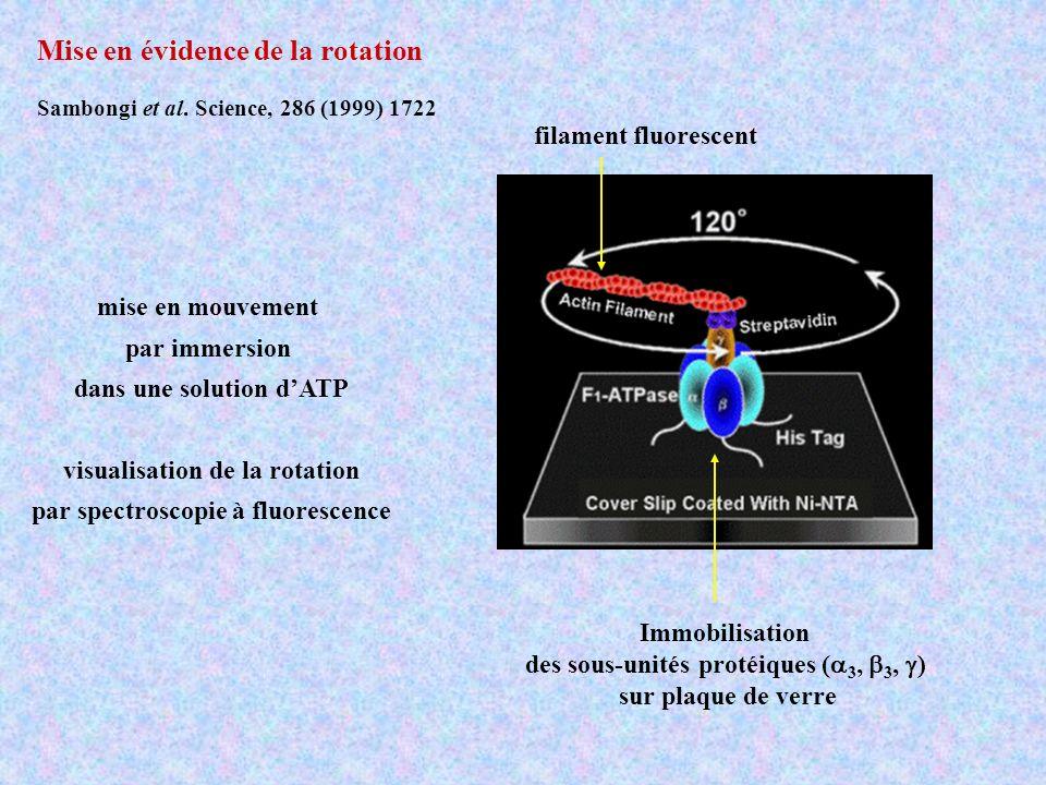 répulsions électrostatiques encombrement stérique Rotation imposée Rotation unidirectionnelle