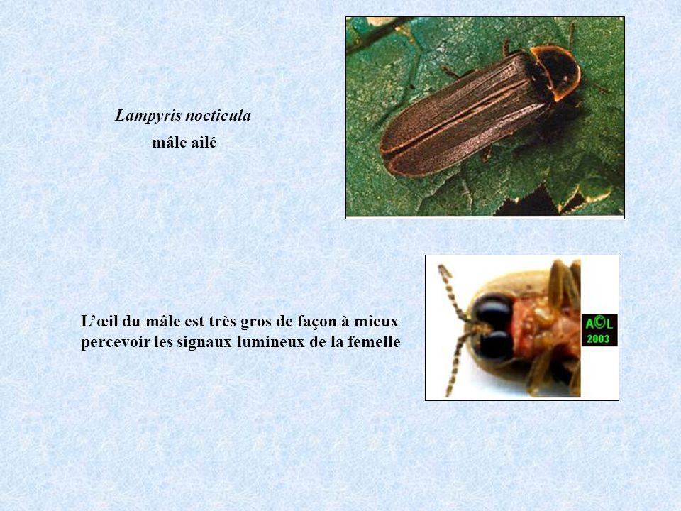 Lœil du mâle est très gros de façon à mieux percevoir les signaux lumineux de la femelle Lampyris nocticula mâle ailé
