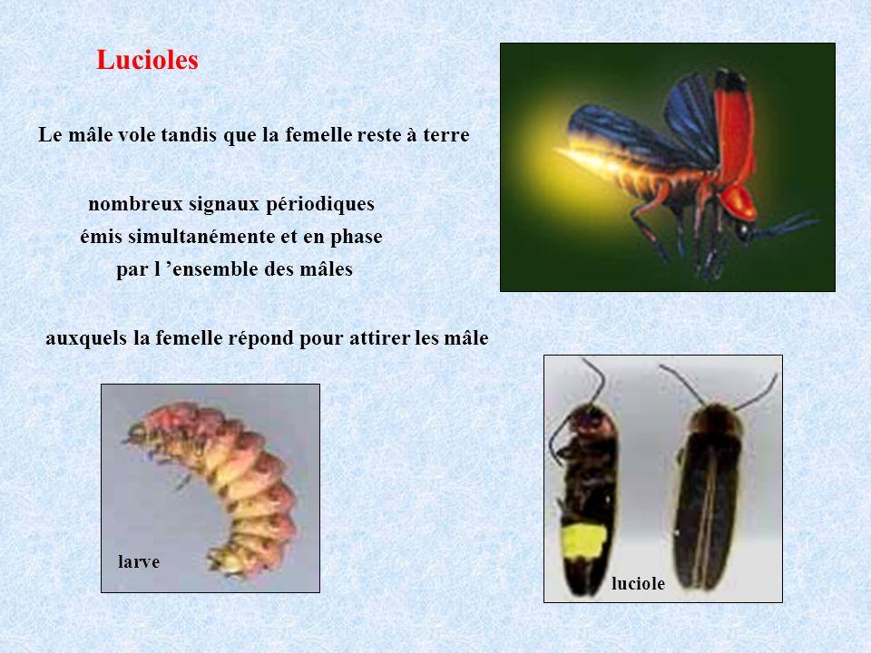 Lucioles nombreux signaux périodiques émis simultanémente et en phase par l ensemble des mâles auxquels la femelle répond pour attirer les mâle Le mâle vole tandis que la femelle reste à terre larve luciole