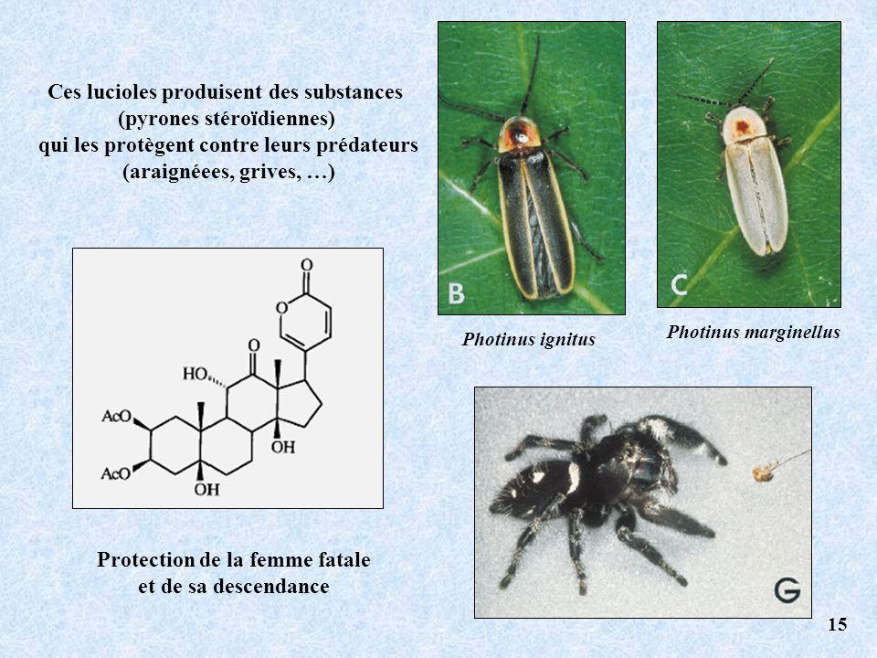 Photinus ignitus Photinus marginellus Ces lucioles produisent des substances (pyrones stéroïdiennes) qui les protègent contre leurs prédateurs (araignéees, grives, …) Protection de la femme fatale et de sa descendance 15