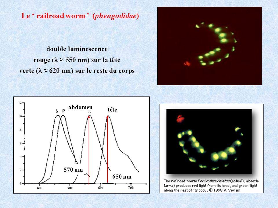 Le railroad worm (phengodidae) tête abdomen 650 nm 570 nm double luminescence rouge ( 550 nm) sur la tête verte ( 620 nm) sur le reste du corps
