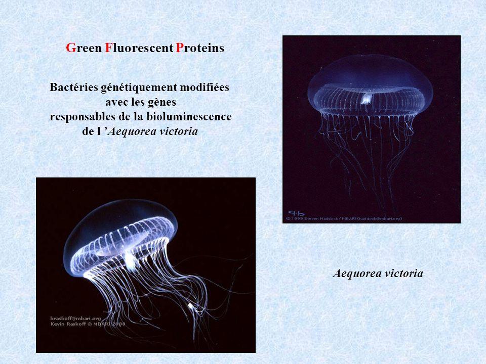 Bactéries génétiquement modifiées avec les gènes responsables de la bioluminescence de l Aequorea victoria Green Fluorescent Proteins Aequorea victoria