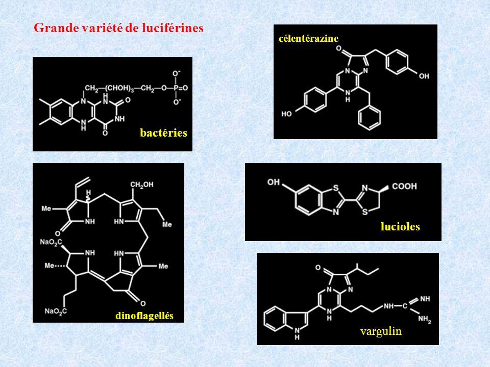 bactéries Grande variété de luciférines célentérazine dinoflagellés lucioles vargulin