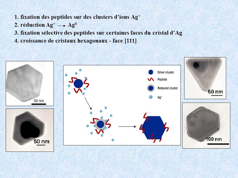 1.fixation des peptides sur des clusters dions Ag + 2.