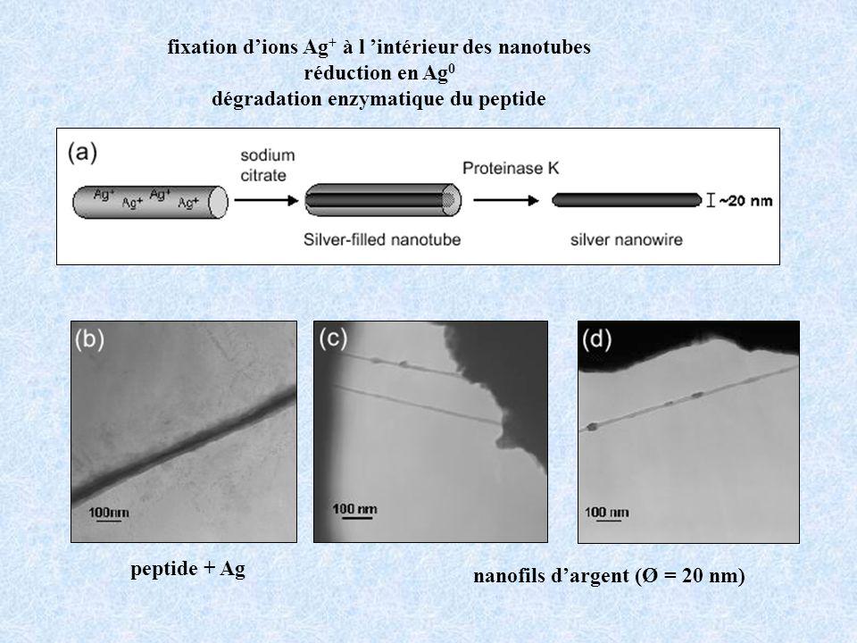 fixation dions Ag + à l intérieur des nanotubes réduction en Ag 0 dégradation enzymatique du peptide peptide + Ag nanofils dargent (Ø = 20 nm)