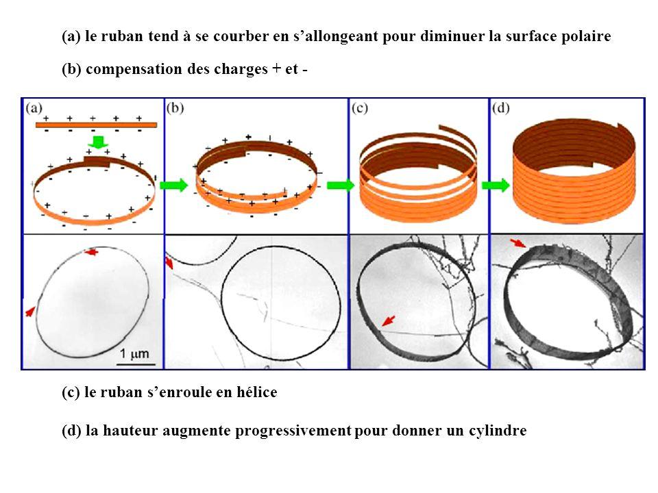 (a) le ruban tend à se courber en sallongeant pour diminuer la surface polaire (b) compensation des charges + et - (c) le ruban senroule en hélice (d)