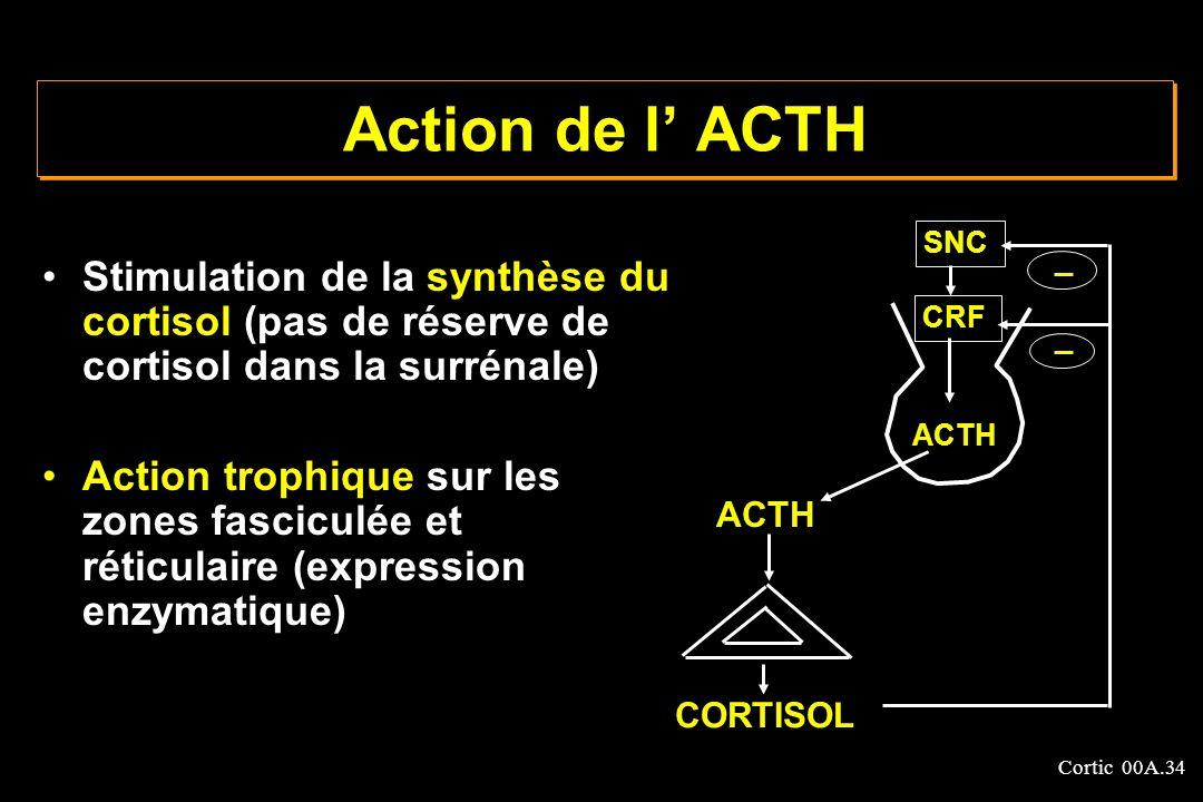 Cortic 00A.34 Action de l ACTH Stimulation de la synthèse du cortisol (pas de réserve de cortisol dans la surrénale) Action trophique sur les zones fa