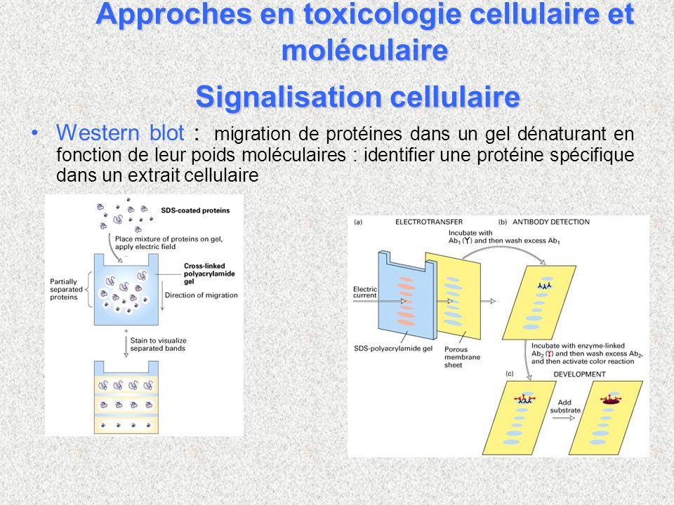 Signalisation cellulaire Western blot : migration de protéines dans un gel dénaturant en fonction de leur poids moléculaires : identifier une protéine