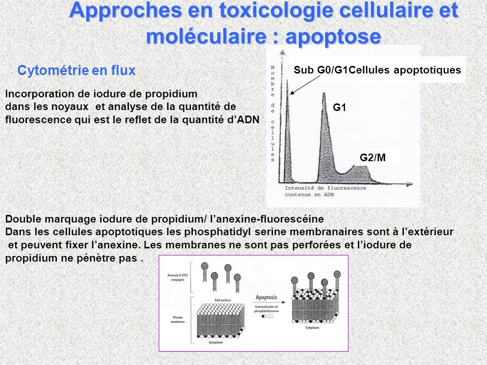Incorporation de iodure de propidium dans les noyaux et analyse de la quantité de fluorescence qui est le reflet de la quantité dADN Sub G0/G1Cellules apoptotiques G1 G2/M Cytométrie en flux Double marquage iodure de propidium/ lanexine-fluorescéine Dans les cellules apoptotiques les phosphatidyl serine membranaires sont à lextérieur et peuvent fixer lanexine.