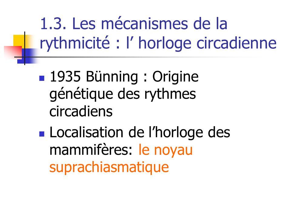 1.3. Les mécanismes de la rythmicité : l horloge circadienne 1935 Bünning : Origine génétique des rythmes circadiens Localisation de lhorloge des mamm