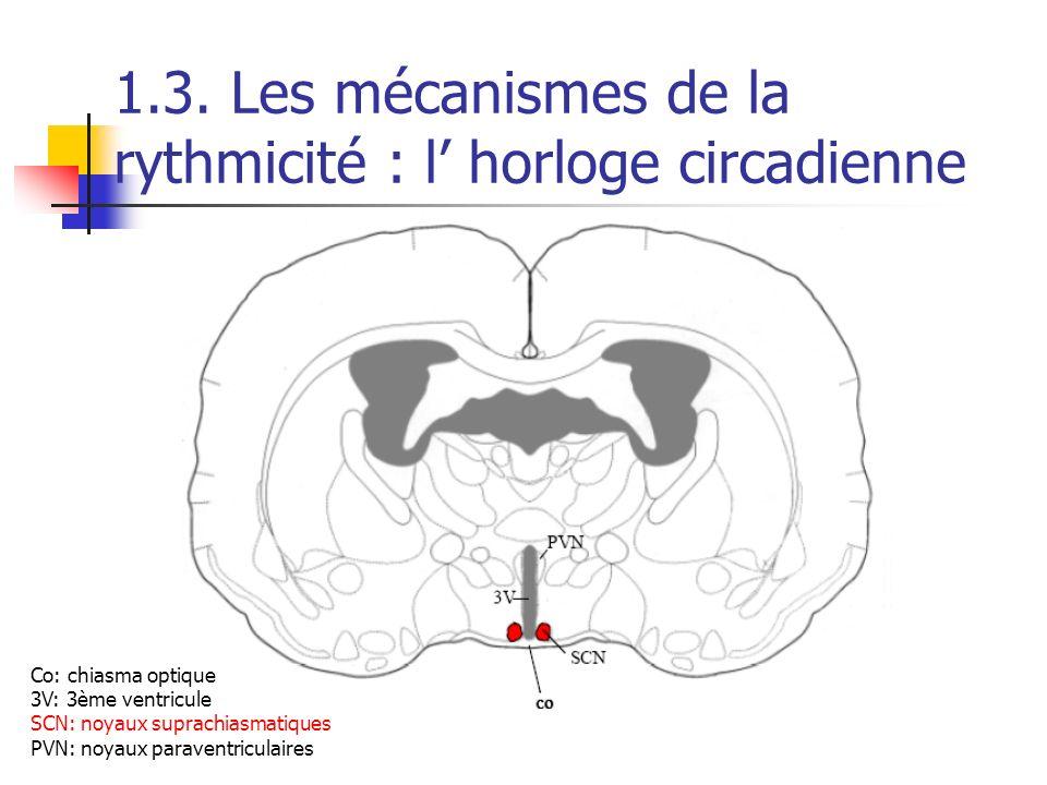 1.3. Les mécanismes de la rythmicité : l horloge circadienne CO 3V SCN Co: chiasma optique 3V: 3ème ventricule SCN: noyaux suprachiasmatiques PVN: noy