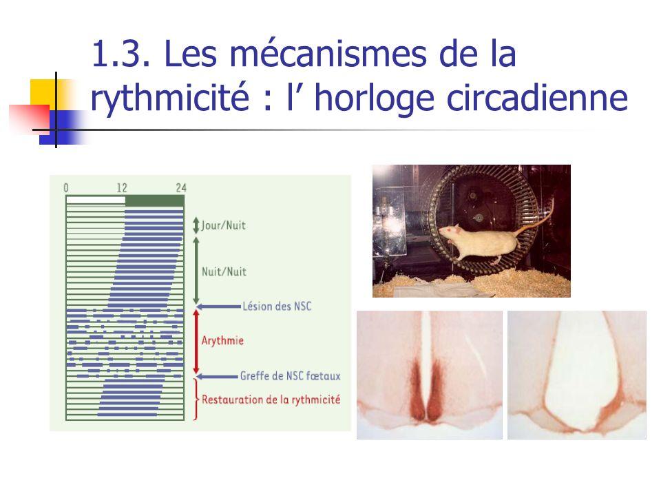 1.3. Les mécanismes de la rythmicité : l horloge circadienne