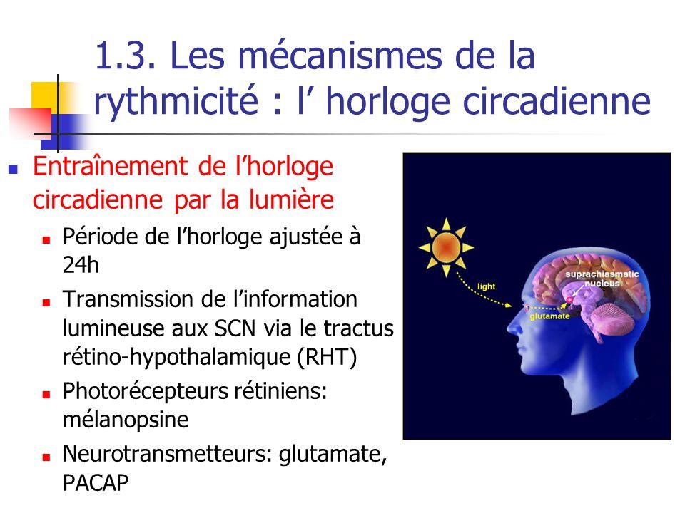 1.3. Les mécanismes de la rythmicité : l horloge circadienne Entraînement de lhorloge circadienne par la lumière Période de lhorloge ajustée à 24h Tra