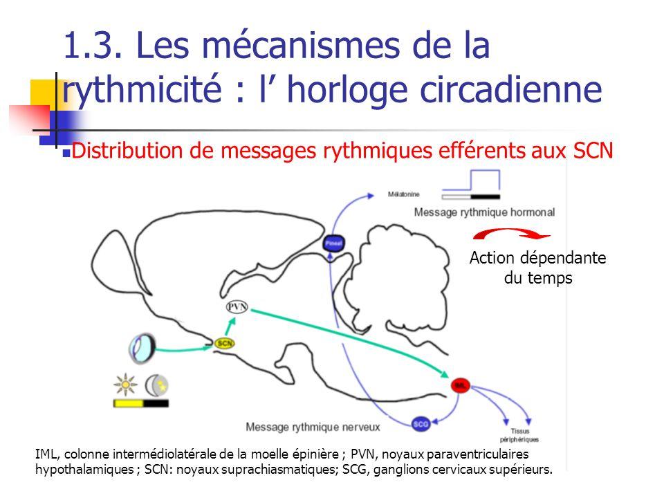 IML, colonne intermédiolatérale de la moelle épinière ; PVN, noyaux paraventriculaires hypothalamiques ; SCN: noyaux suprachiasmatiques; SCG, ganglion