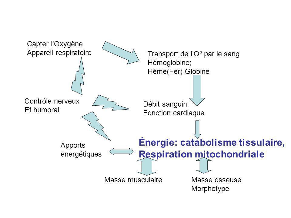 Capter lOxygène Appareil respiratoire Transport de lO² par le sang Hémoglobine; Hème(Fer)-Globine Débit sanguin: Fonction cardiaque Énergie: catabolisme tissulaire, Respiration mitochondriale Masse musculaireMasse osseuse Morphotype Contrôle nerveux Et humoral Apports énergétiques