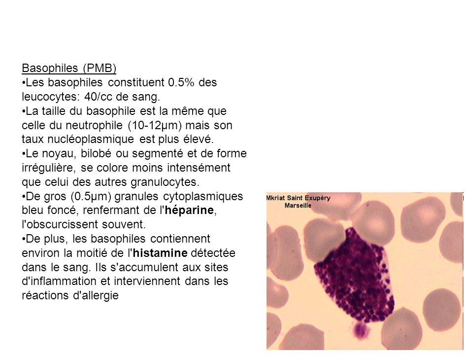 Basophiles (PMB) Les basophiles constituent 0.5% des leucocytes: 40/cc de sang. La taille du basophile est la même que celle du neutrophile (10-12µm)