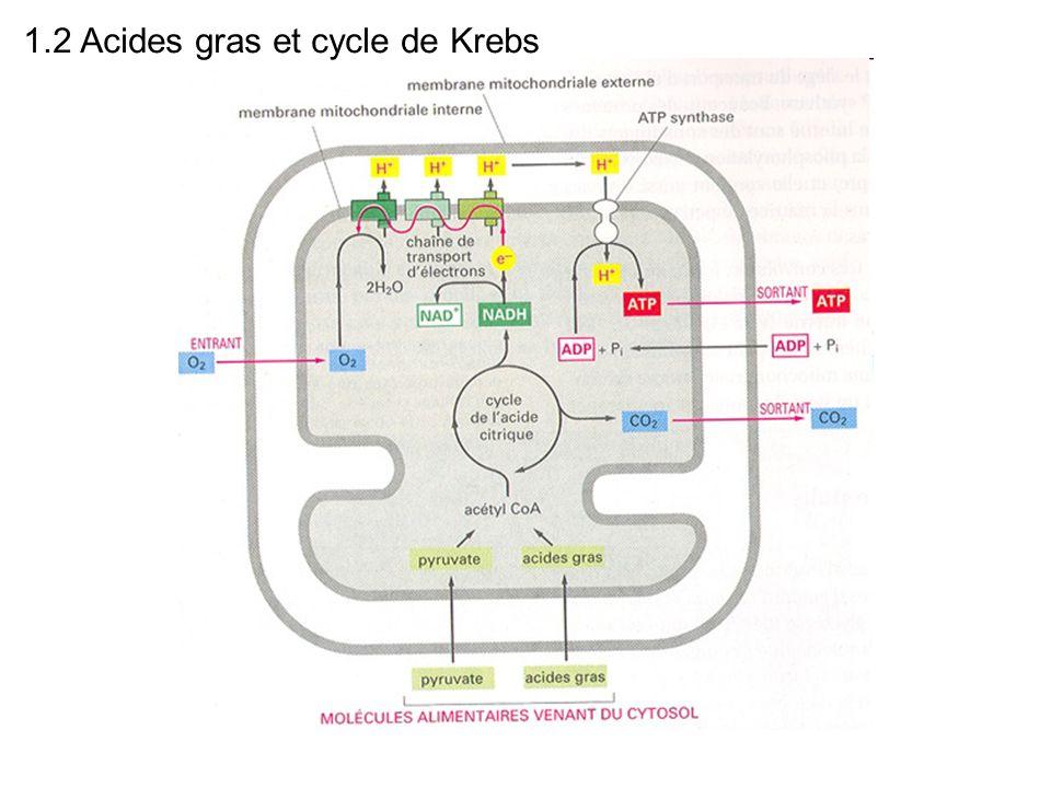 1.2 Acides gras et cycle de Krebs