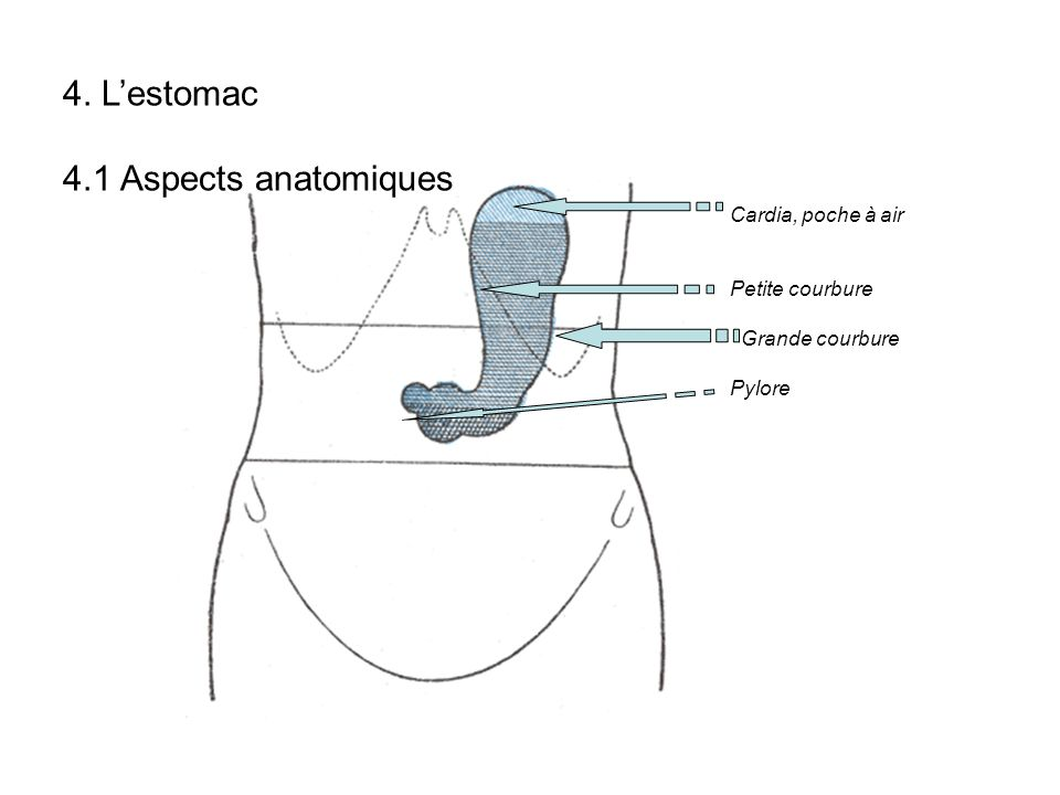 4. Lestomac 4.1 Aspects anatomiques Cardia, poche à air Petite courbure Grande courbure Pylore