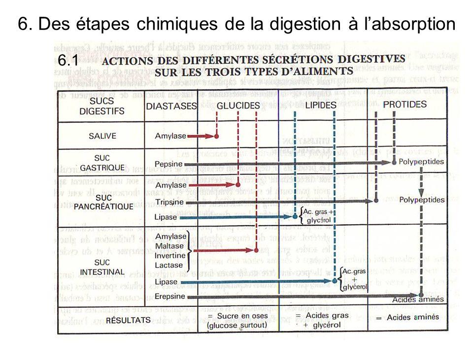 6. Des étapes chimiques de la digestion à labsorption 6.1
