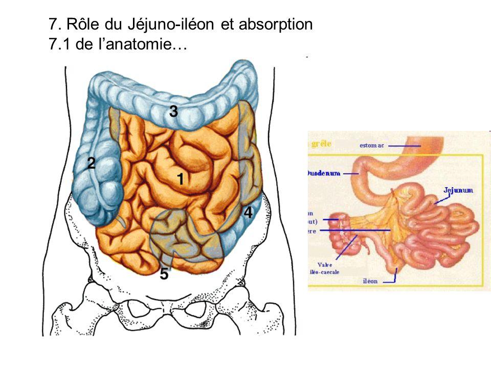 7. Rôle du Jéjuno-iléon et absorption 7.1 de lanatomie…