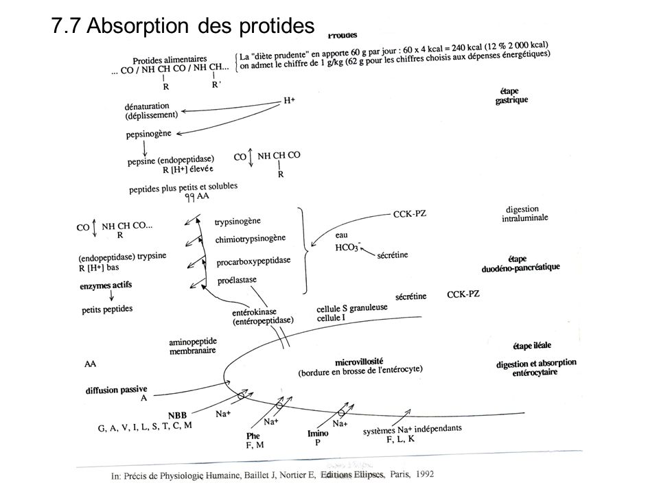 7.7 Absorption des protides
