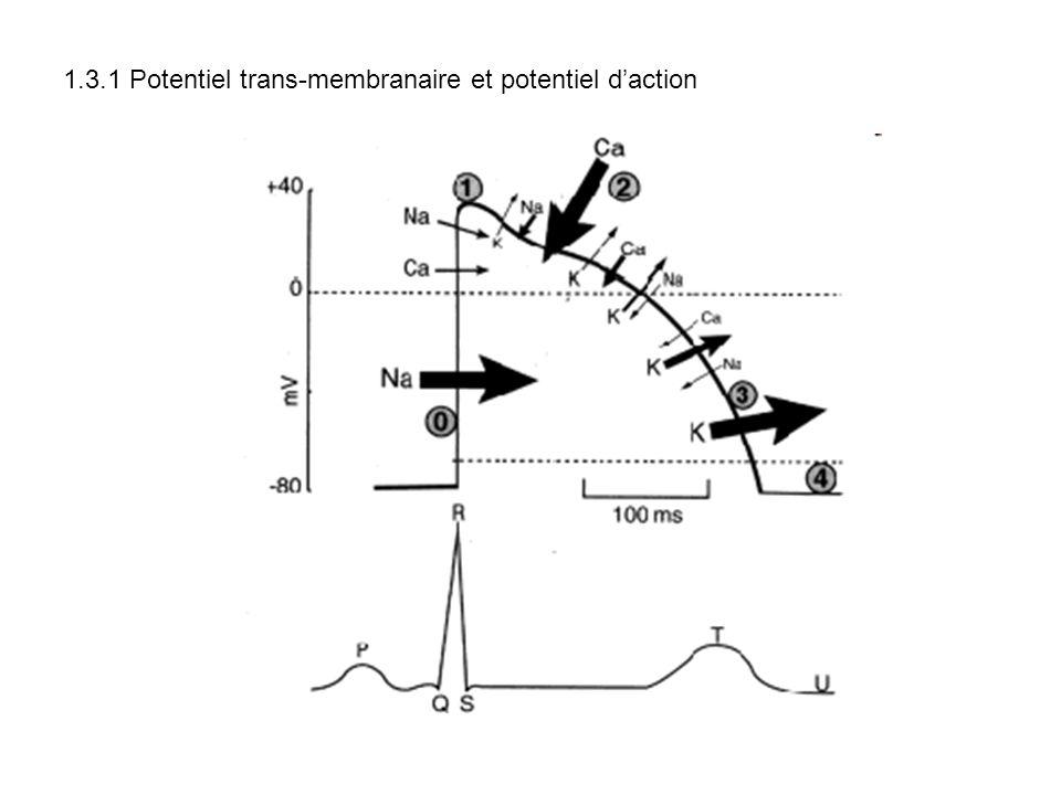 1.3.1 Potentiel trans-membranaire et potentiel daction
