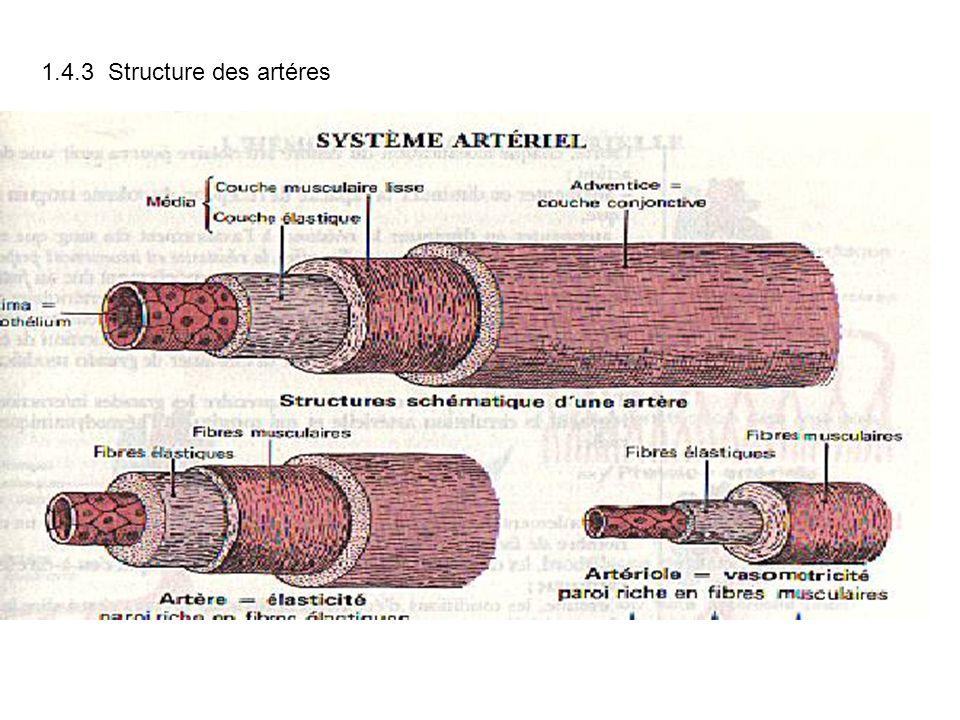 1.4.3 Structure des artéres