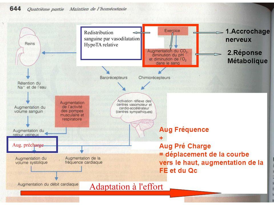 Aug Fréquence + Aug Pré Charge = déplacement de la courbe vers le haut, augmentation de la FE et du Qc 1.Accrochage nerveux 2.Réponse Métabolique