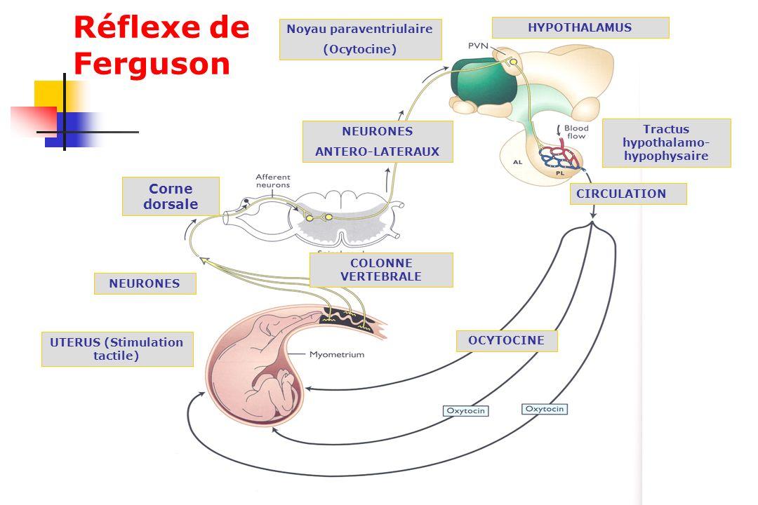 Réflexe de Ferguson NEURONES ANTERO-LATERAUX UTERUS (Stimulation tactile) Tractus hypothalamo- hypophysaire COLONNE VERTEBRALE Corne dorsale Noyau par