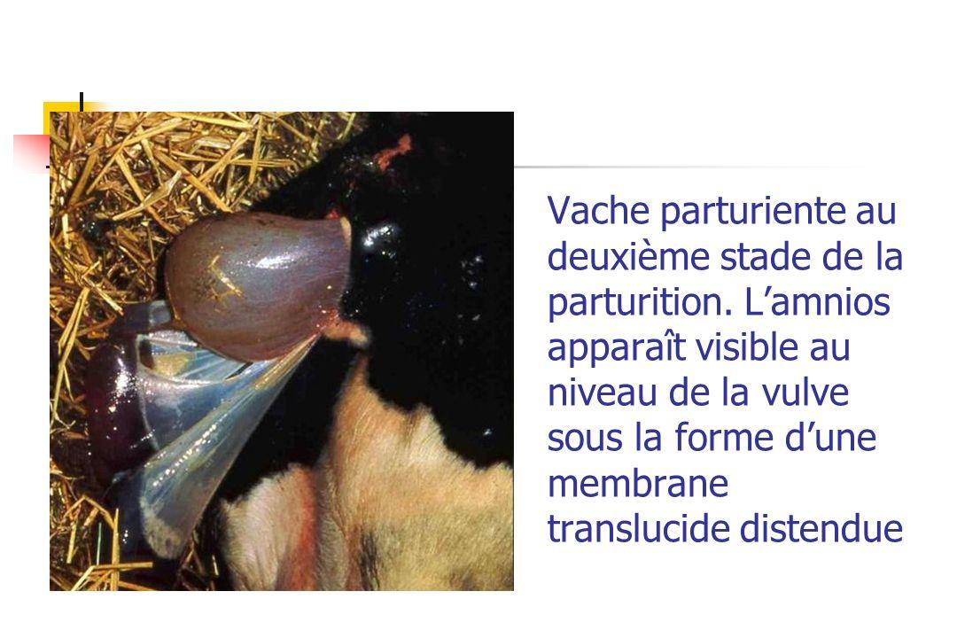 Vache parturiente au deuxième stade de la parturition. Lamnios apparaît visible au niveau de la vulve sous la forme dune membrane translucide distendu