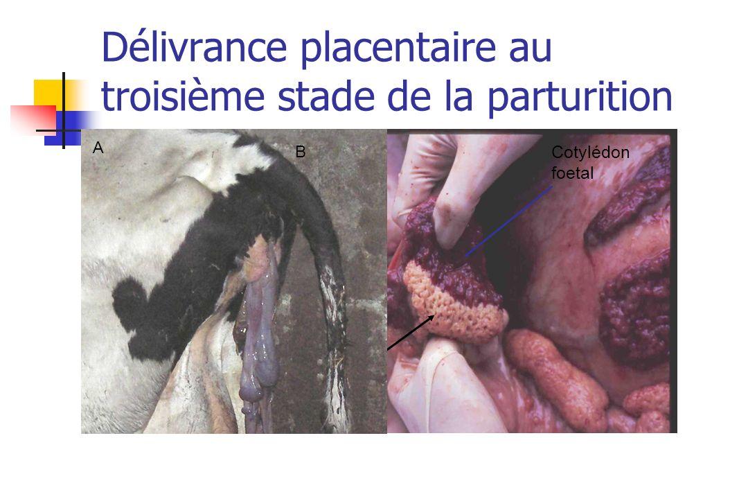 Cotylédon foetal Caroncule maternelle A B Délivrance placentaire au troisième stade de la parturition