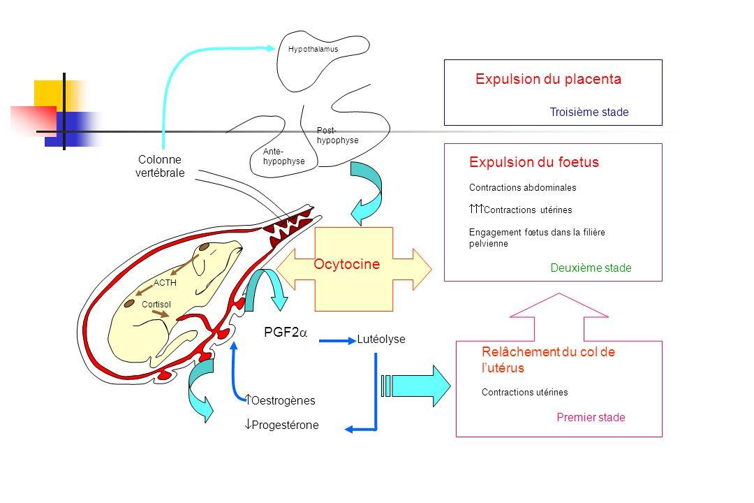 ACTH Cortisol Ocytocine Hypothalamus Colonne vertébrale Ante- hypophyse Post- hypophyse Progestérone Oestrogènes PGF2 Lutéolyse Relâchement du col de