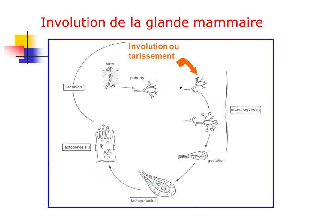 Involution de la glande mammaire Involution ou tarissement