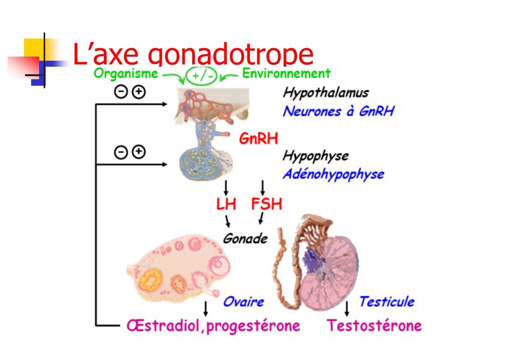 Laxe hypothalamo-hypophyso- gonadique