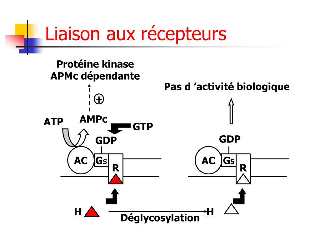 + AC GSGS R H ATP AMPc Protéine kinase APMc dépendante GDP GTP H Déglycosylation AC GSGS R GDP Pas d activité biologique Liaison aux récepteurs