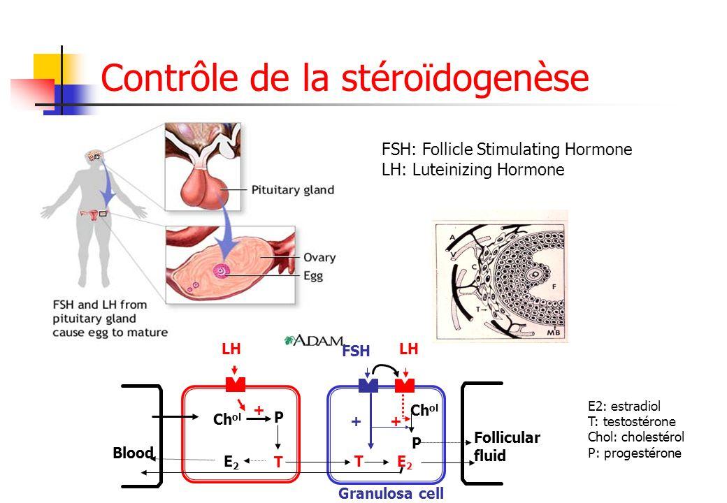 Contrôle de la stéroïdogenèse FSH: Follicle Stimulating Hormone LH: Luteinizing Hormone Blood Follicular fluid Granulosa cell Ch ol P E2E2 T TE2E2 P +