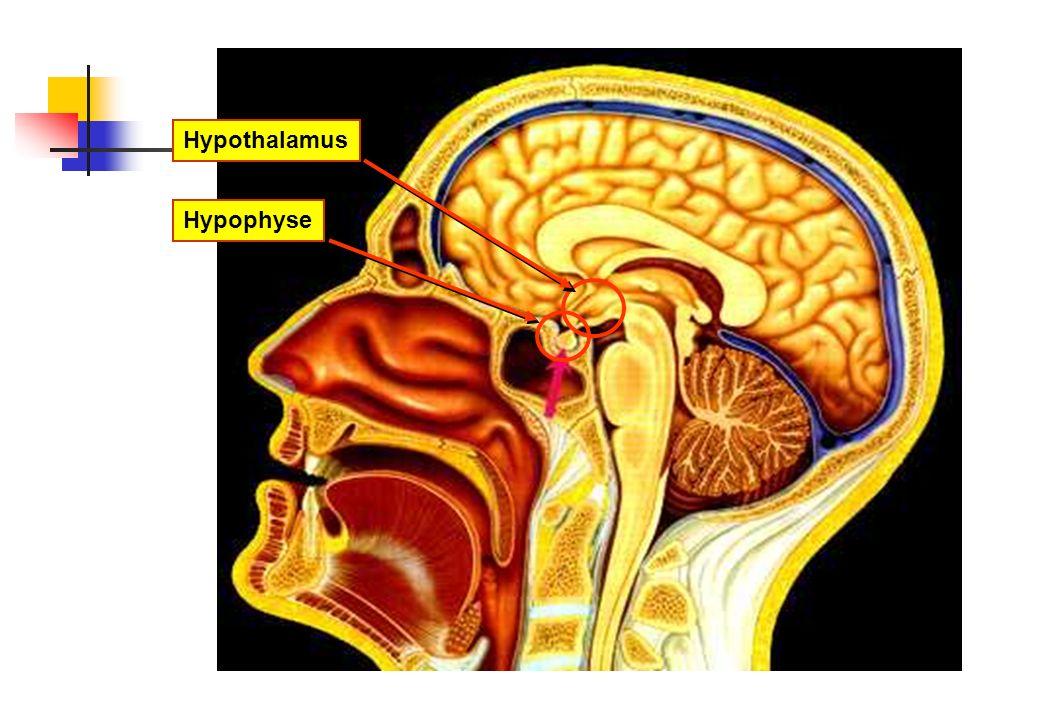 HypothalamusHypophyse